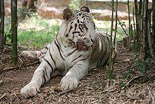 220px-White_tiger_bangalore
