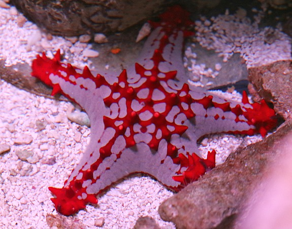 Red Star Fish