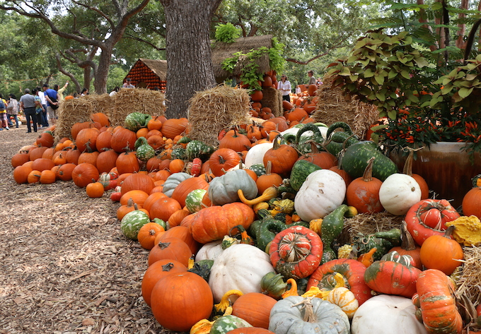 Pumpkins at Dallas Arboretum