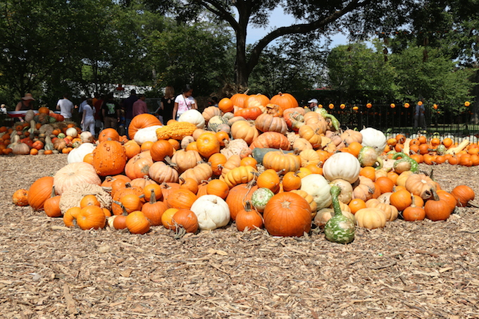Pumpkin Patch at Dallas Arboretum