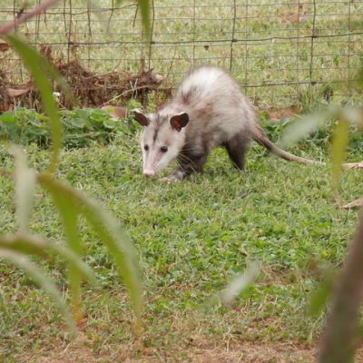 Ways to Protect Your Home From Possum Damage