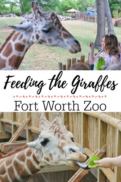 Feeding the Giraffes at Fort Worth Zoo