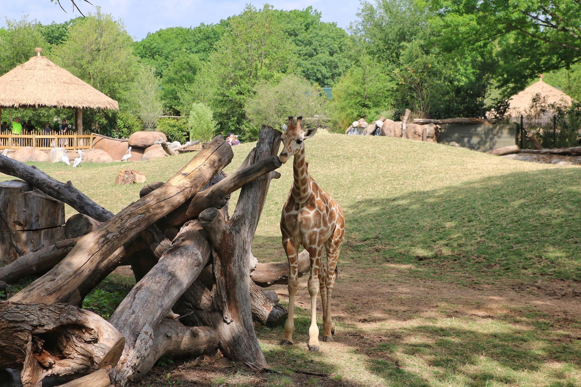 giraffe in habitat