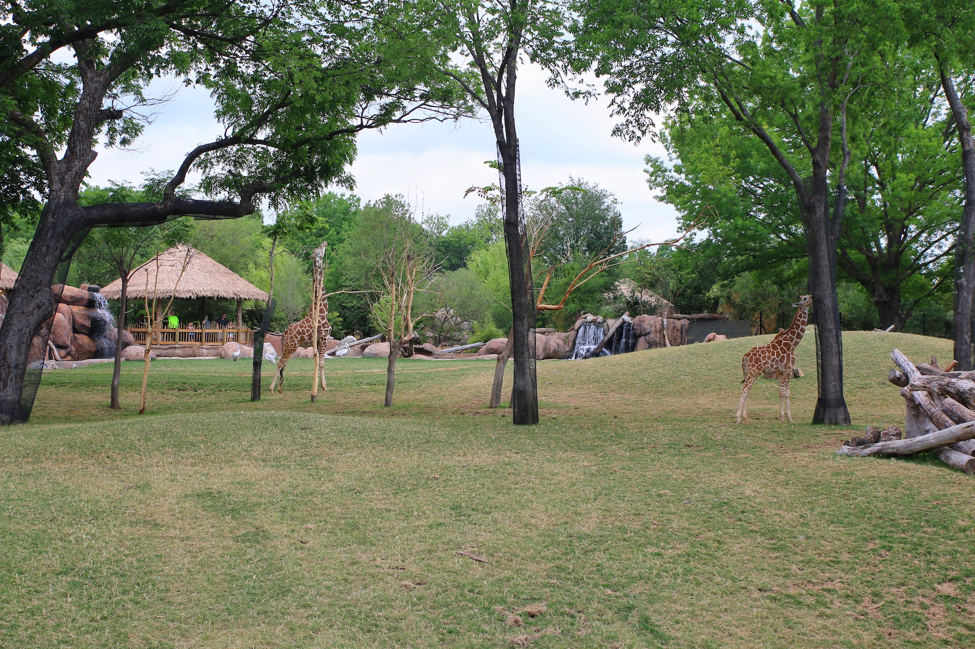 see the giraffes at Fort Worth zoo