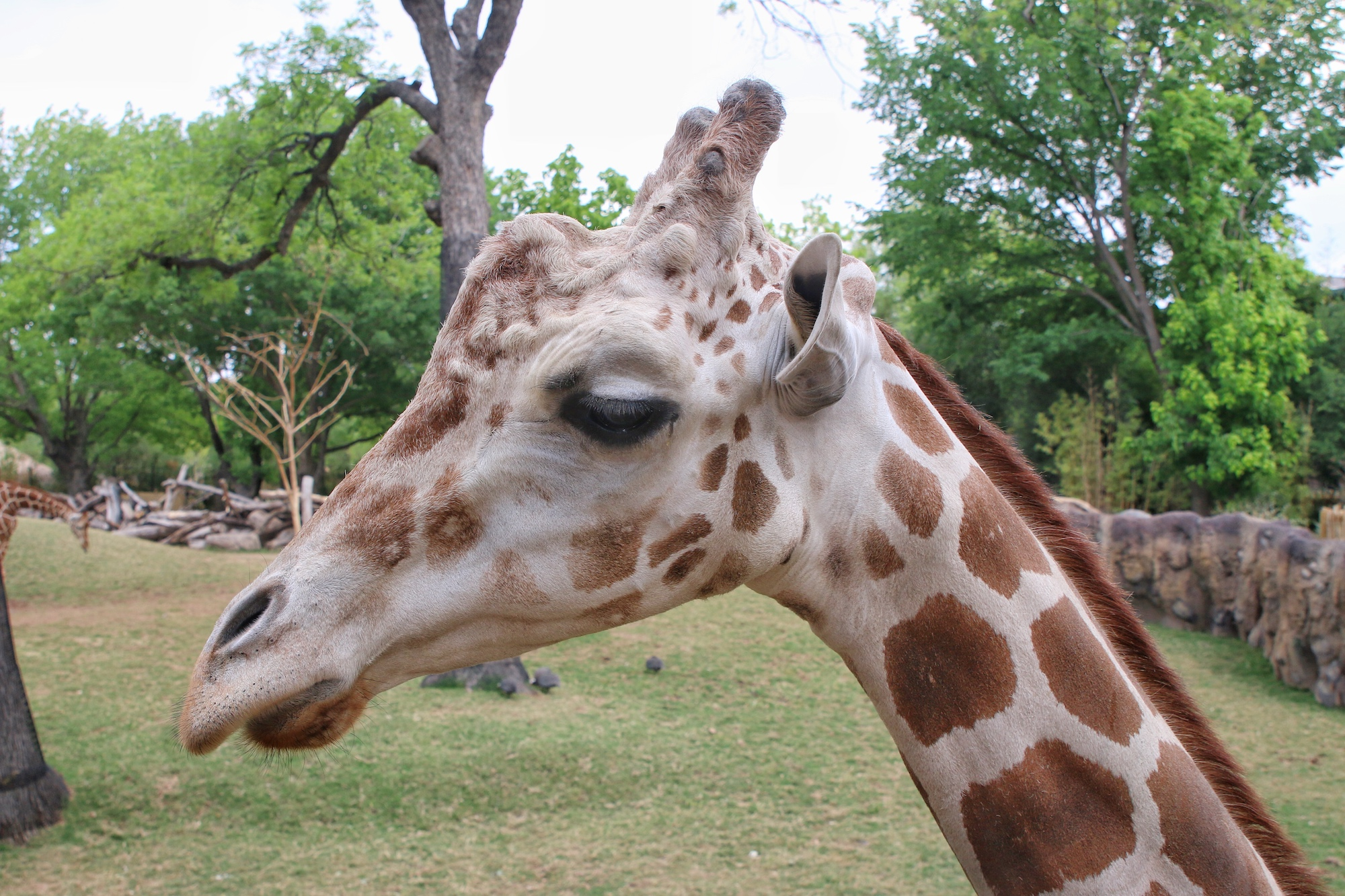 up close photo of giraffe at Fort Worth zoo
