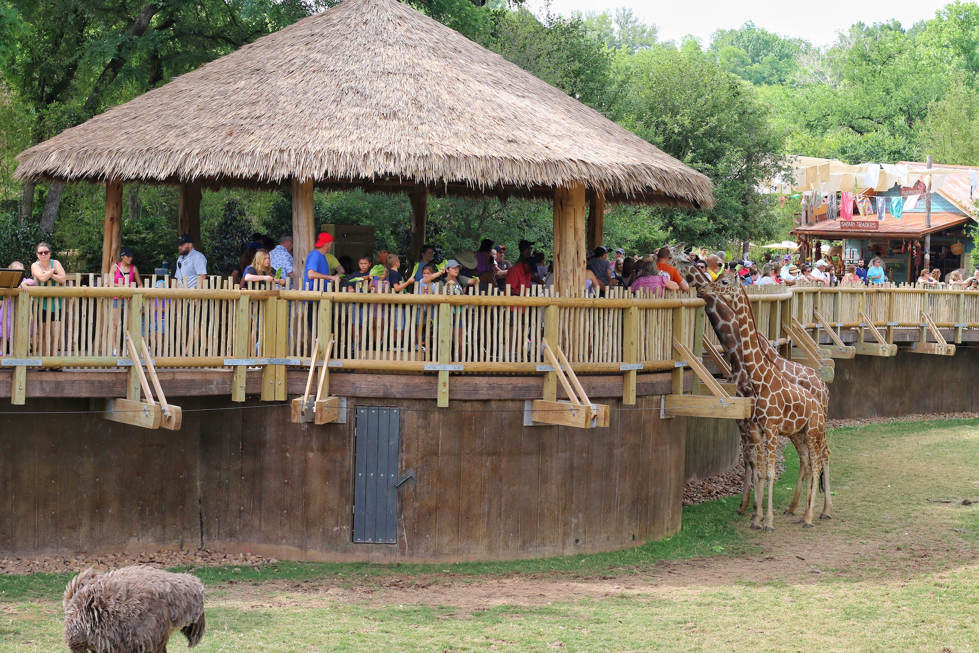 feed giraffes at African savanna at Fort Worth zoo