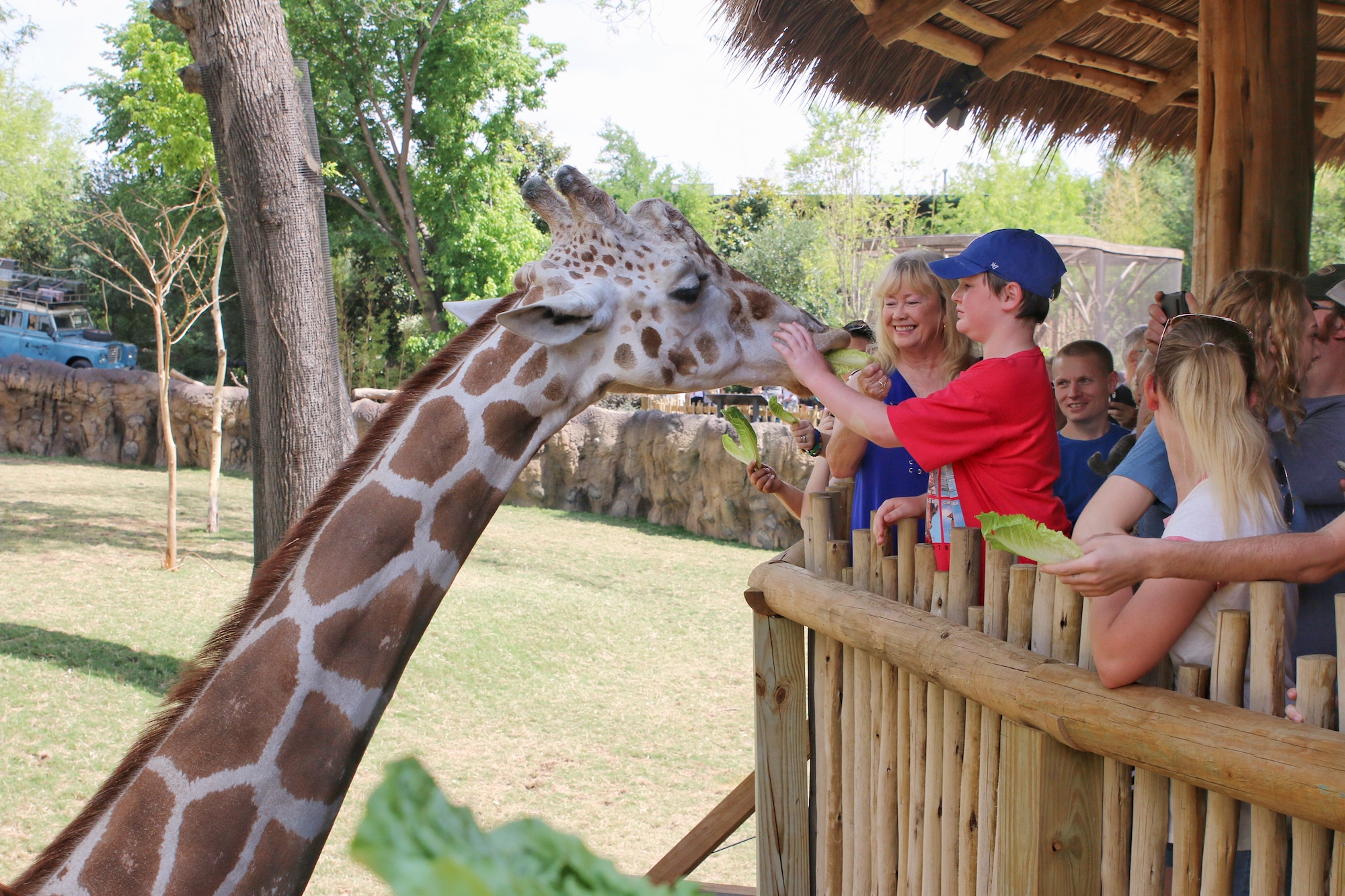feeding giraffes from zoo platform
