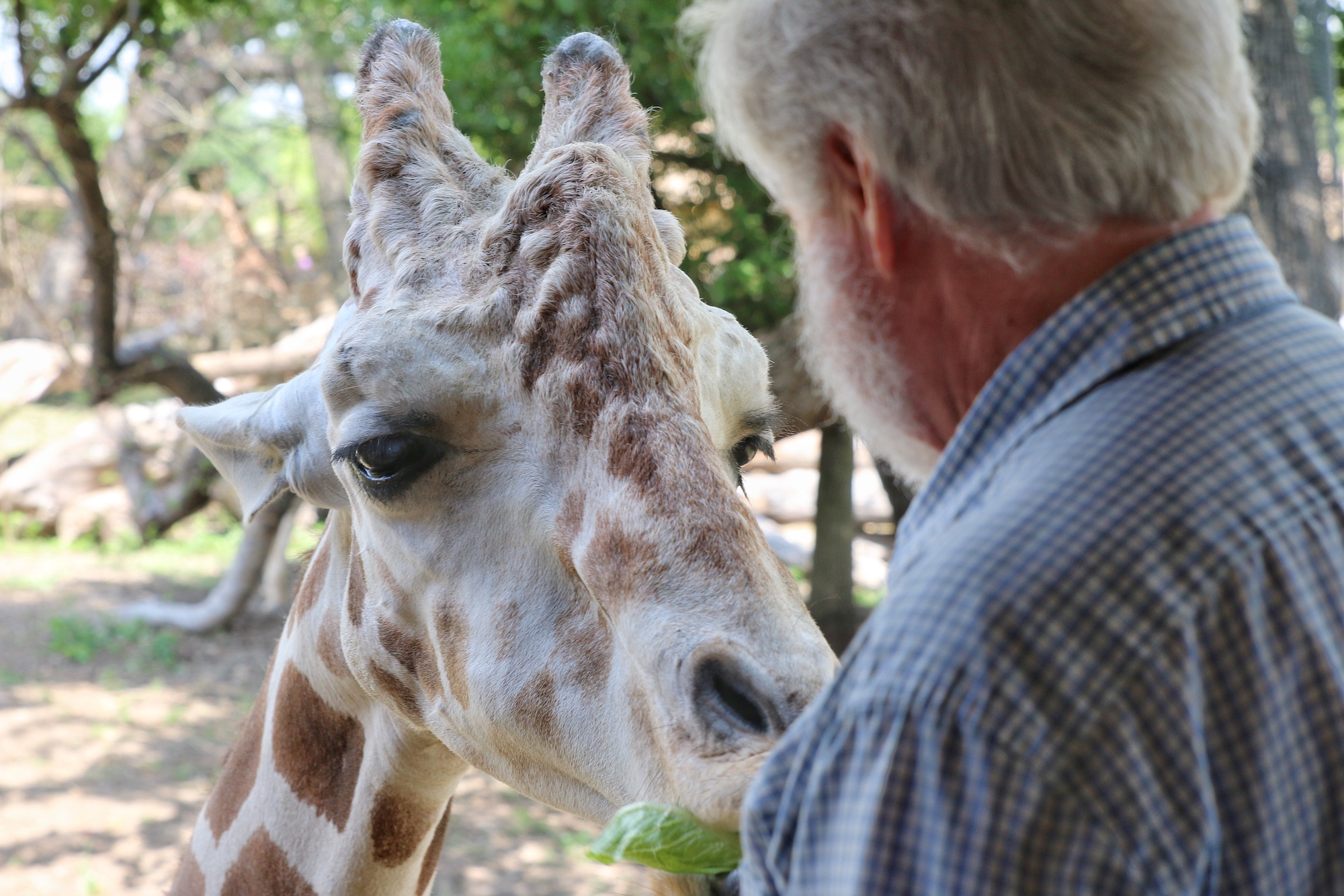 feed giraffe by hand