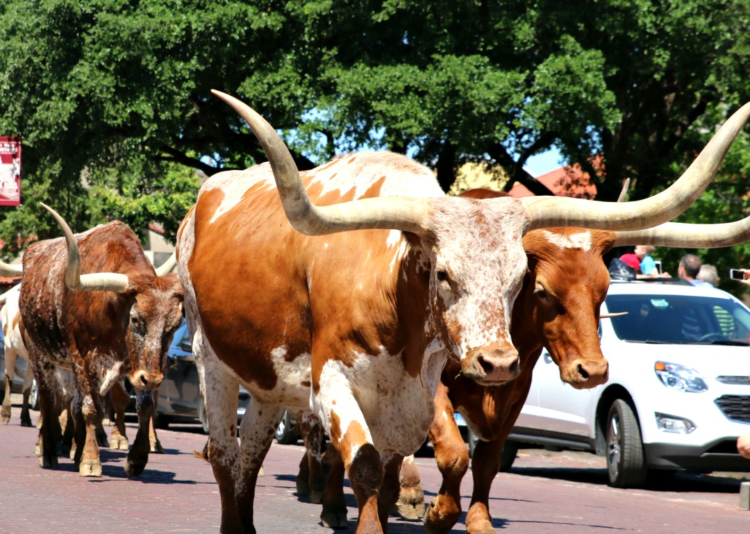 stockyards cattle drive
