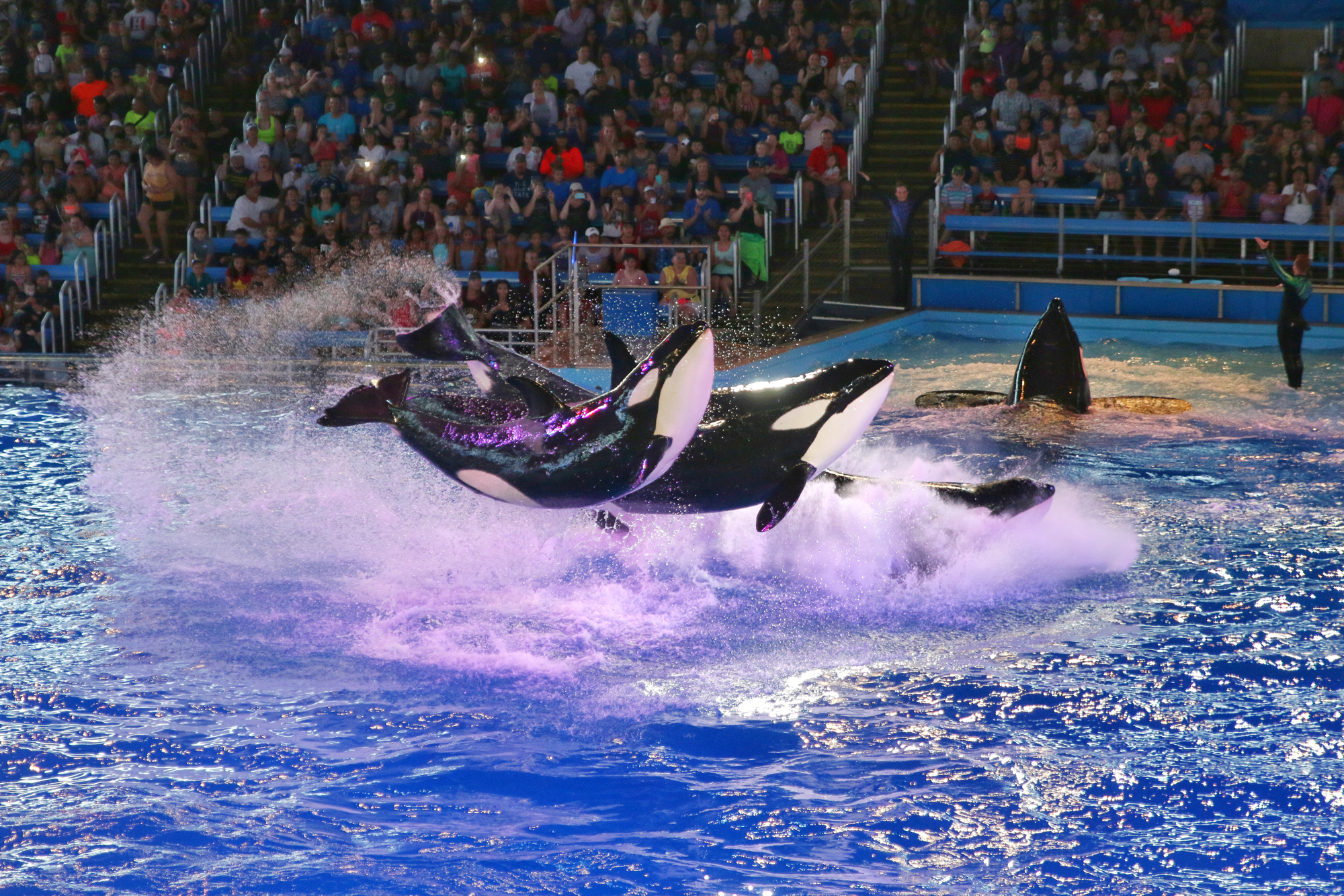 Shamu jumping out of water at SeaWorld